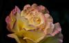 Rose Power (AnyMotion) Tags: rosa rose gloriadei peace garden garten blossom blüte petals blütenblätter 2018 floral flowers frankfurt plants anymotion nature natur colours farben yellow gelb pink 7d2 canoneos7dmarkii macro makro makroaufnahmen