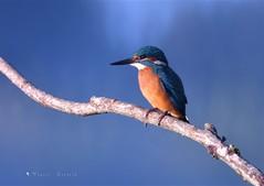Martin Pêcheur (MalcedoP) Tags: loire niévre kingfisher