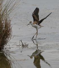 (nadiaorioliphoto) Tags: pullo cavaliereditalia deltadelpo valle animal bird aves uccello