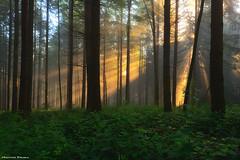 The Awakening (Hector Prada) Tags: bosque forest beams bruma mist luz light tree arboles contraluz backlight paísvasco basquecountry