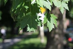 Dreaming of cooler temperatures... (MomOfJasAndTam) Tags: tree bark leaf leaves sun shade summer heat dof depthoffield dreamingofcoolerweather trunk park shadows shadow bokeh heatwave light