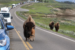 Yes, we have the Right-of-Way......6O3A5800A (dklaughman) Tags: bison calf yellowstonenationalpark