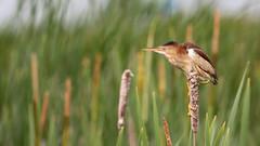 Petit blongios (10) (boisvertvert1) Tags: petitblongios leastbittern michelboisvert 2018 oiseauxduquébec birds canada québec canon canon70d ef300mmf4lisusm wildlife marais
