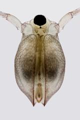 Ceriodaphnia (mr.sansibar) Tags: freshwater pond aquatic olympusbh2 zooplankton planapo focusstacking photomicrography microscopy heliconfocus waterflea cladocera ceriodaphnia bh2 arthropoda crustacea