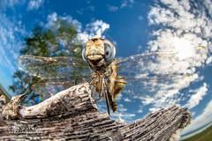 Dragonfly (Urothemis edwardsii) - DSC_4577 (nickybay) Tags: africa mozambique bugshot macro sofala gorongosa dragonfly anisoptera urothemis edwardsii cctv wideangle libellulidae