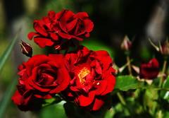 DSC_0440 (PeaTJay) Tags: nikond750 reading lowerearley berkshire macro micro closeups gardens outdoors nature flora fauna plants flowers rose roses rosebuds