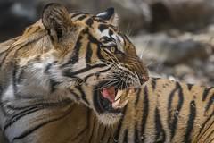 Noor (charlesgyoung) Tags: tiger cat rajasthan ranthamborenationalpark india charlesyoung karineaignerphotographyexpedition nikon nikonphotography travelphotography wildlifephotography