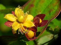 Hypericum androsaemum (dnieper) Tags: flor silvestre hypericumandrosaemum urdaibai