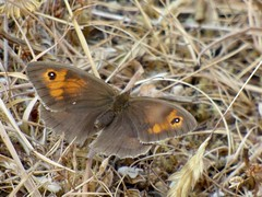 Meadow Brown Butterfly (LouisaHocking) Tags: meadow brown butterfly south wales abertysswg insect minibeast wild wildlife nature