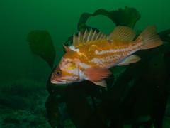 P7230263.jpg (alwayslaurenj) Tags: cor copperrockfish montereycarmel pointlobos reefcheck