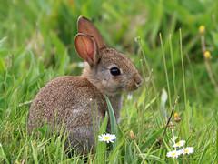 Bunny Rabbit (robin denton) Tags: rabbit animal wildlife nature