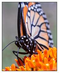 Up Close (GAPHIKER) Tags: butterfly milkweed butterflymilkweed field backyard monarch asclepiastuberosa butterflyweed season first perennial nikkor 55mm f28