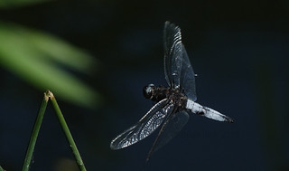 Dragonfly in-flight