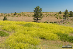 Goldenrods and Pines (kevin-palmer) Tags: july summer wyoming nikond750 sheridan welchranch blm morning sunny blue sky goldenrods yellow wildflowers hills trees tamron2470mmf28