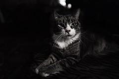 Cat in Black and White (hoffler_pictorials) Tags: hofflerpictorials girl pretty posing portrait gato naturallighting noir monochrome ilce7rm2 fullframecamera sonyfelenses sonyemountlenses sony sweet soft cute cats blackandwhite