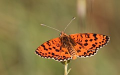 Mélitée orangée - IMBF2516 (6franc6) Tags: papillon occitanie languedoc gard 30 petitecamargue juin 2018 6franc6 vélo kalkoff vae