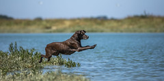 Dale the legend Explored 13-7-2018 (Dogstar_photography) Tags: arur river gsp german short haired pointer rescue dog halkidiki animal caring for animals trust canon eos 5d mark iv ef70200mm f28l is ii usm