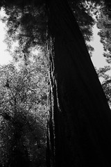 From the redwood forest........ (paddle_jim) Tags: redwood tree monochrome bw