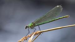 Caloptéryx éclatant (Dakysto94) Tags: nature macro proxi proxy proxiphoto odonate odonata libellule libellula dragonfly damselfly demoiselle calopteryx insecte insect animal