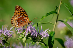 Butterfly Feeding on Nectar (John Brighenti) Tags: sony alpha a7 sel70300g forest woods park rachelcarson conservation outdoors nature hike geen insects flowers feeding bugs macro bokeh close purple summer montgomerycounty maryland md brookville butterfly