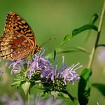 Butterfly Feeding on Nectar thumbnail