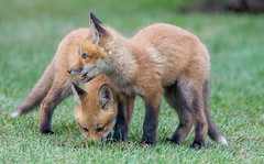 Foxy's stare- protecting his brother. (anniebevilacqua) Tags: animal fox redfox vulpesvulpes renardeau cub foxcub renard renardroux faunemontréal montrealwildlife oute beauté annie
