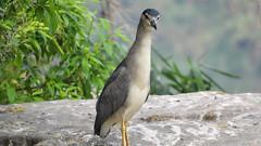 Night Heron (Birdwatcher18) Tags: nightheron wader herons birds waterbird birder birding birdwatching nature