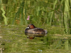 Little grebe (Deanne Wildsmith) Tags: grebe bird bartonmarina staffordshire littlegrebe earthnaturelife