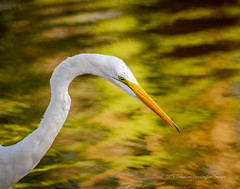 Portrait Of A Predator (playful_i) Tags: dbg egret greatwhiteegret papagopark birds green lake nature patterns pond portrait reflections water wildlife yellow