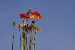 Bouquet of flowers (JLM62380) Tags: bouquet flowers sky ciel coquelicot poppy