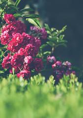 Rosas Silvestres (Xavier Larrosa) Tags: nature galicia lugo flor flower red green orange purple