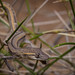 Phasmid Striped Gecko (Strophurus taeniatus) (elliotbudd) Tags: northern phasmid striped gecko strophurus taeniatus winton boulia middleton qld queensland elliot budd gekkonidae geckonidae