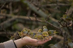 getting back to the garden (birdcloud1) Tags: silvereye waxeye tauhou birds flock zosteropslateralis meandthem hand gettingbacktothegarden amandakeogh birdcloud1 trust newzealandnativebird newzealand winter feedingbirds wild free inmygarden