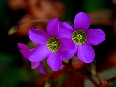 Monday macro oxalis blooms (kiki nagi) Tags: flowers oxalis nature purple macro nikond750