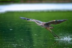 ToeingTheLine (jmishefske) Tags: 2018 nikon d500 flying milwaukee lagoon pond greenfield blue bif great flight westallis flyweight wisconsin heron july park fly bird county water