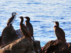 Little pied cormorant and little black cormorants (elphweb) Tags: hdr highdynamicrange nsw australia seaside sea ocean water bird birds seabirds littlecormorant cormorant shag shagsonarocks littleblackcormorant littlepiedcormorant