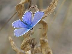 Common Blue-Albert village lake P1970631 (ianpreston) Tags: 2018 albertvillagelake commonblue derbyshire