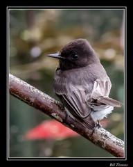 Black Phoebe-1 (billthomas_steel) Tags: blackphoebe sayornisnigricans bird rarebird fraservalley wildlife flycatcher britishcolumbia canada canon eos7dmarkii nestbuilding