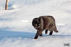 Snowcat (morbidtibor) Tags: cat kat kater poes kitten pussycat switzerland schwellbrunn snow