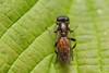Xylota segnis (markhortonphotography) Tags: surrey macro summer leaf nature basingstokecanal surreyheath wildlife canal insect xylotasegnis hoverfly invertebrate