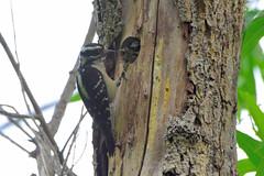 Downy Woodpecker (Dryobates pubescens) female feeding juvenile (R-Gasman) Tags: bird downywoodpecker dryobatespubescens female feedingjuvenile jericho vancouver britishcolumbia canada