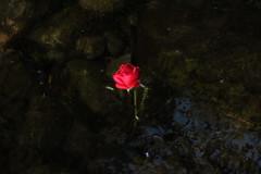 Rose in water (Gazwoz1976) Tags: flower water riverness river redrose rose scott scotland
