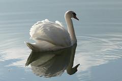 L1100923 (BS-Foto) Tags: leica leicavlux1 leicavlux vlux1 vlux schwan swan leicacompactcameras
