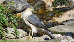 Sparrowhawk (r44flyer) Tags: sparrowhawk garden pond urban bird