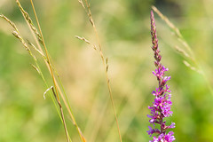 green_field (variaks) Tags: flower macro green photography sonyalpha850 sonya850 sony 70400mm f456 g ssm ii grass plant tree garden