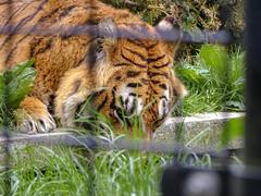 King00010 (Rasenche) Tags: animal carnivore cat mammal bigcat annapaulowna stichtingleeuw tiger panthera tigris altaica mammalia