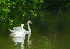 Viens Poupoule, viens Poupoule … (Le.Patou) Tags: animal couple cygne marais amour blanc vert plante couples swan swamp green white love plant eau water nature