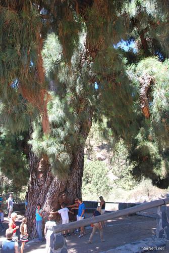 Найстаріша канарська сосна, Тенеріфе, Канари  InterNetri  16