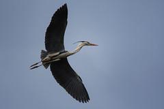Heron (elenaleong) Tags: chinesegarden heroninflight birdinflight wildlife nature elenaleong