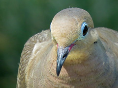 IMG_0350 (lbj.birds) Tags: kansas nature flinthills wildlife bird dove mourningdove